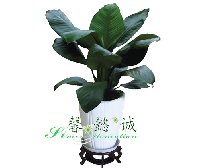 绿巨人-产品展示-北京馨懿诚园林绿化有限公司